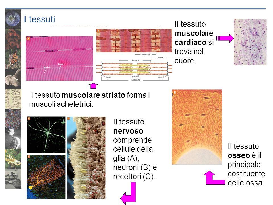I tessuti Il tessuto osseo è il principale costituente delle ossa. Il tessuto muscolare striato forma i muscoli scheletrici. Il tessuto muscolare card