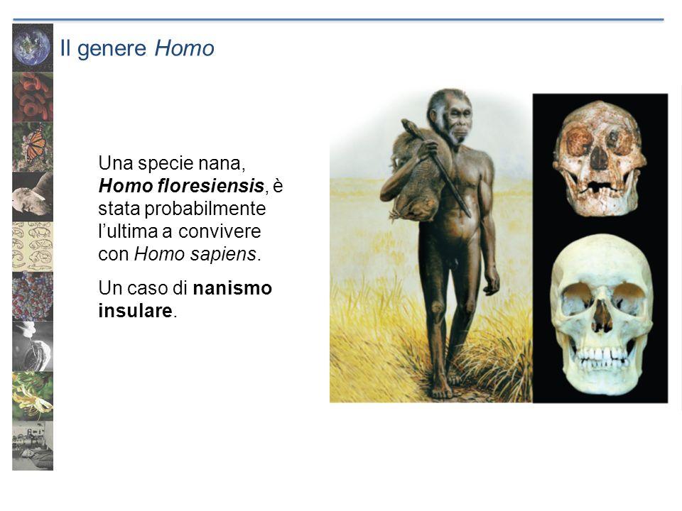 Il genere Homo Una specie nana, Homo floresiensis, è stata probabilmente lultima a convivere con Homo sapiens. Un caso di nanismo insulare.
