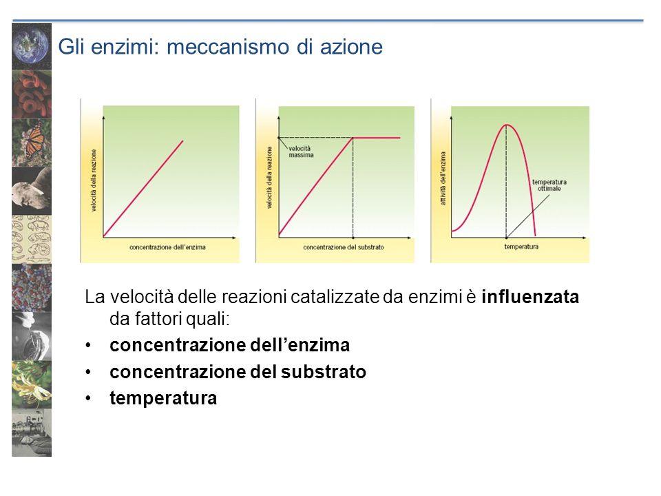 Gli enzimi: meccanismo di azione La velocità delle reazioni catalizzate da enzimi è influenzata da fattori quali: concentrazione dellenzima concentraz