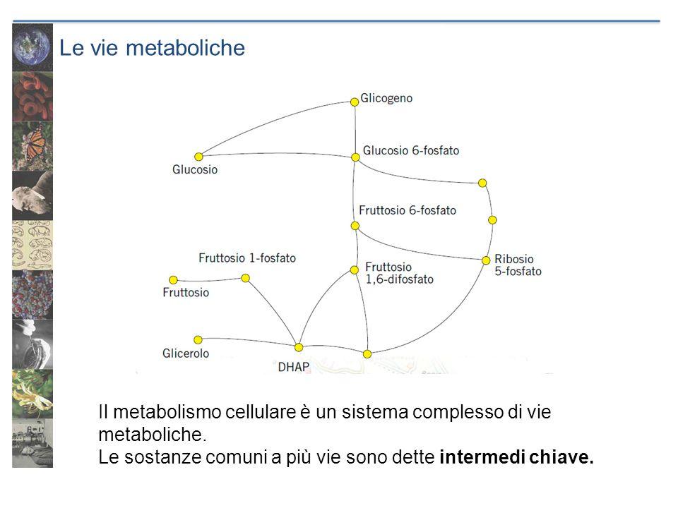 Le vie metaboliche Il metabolismo cellulare è un sistema complesso di vie metaboliche. Le sostanze comuni a più vie sono dette intermedi chiave.