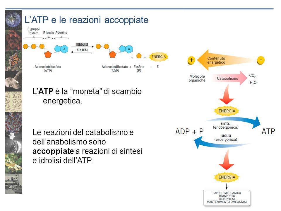 LATP e le reazioni accoppiate LATP è la moneta di scambio energetica. Le reazioni del catabolismo e dellanabolismo sono accoppiate a reazioni di sinte