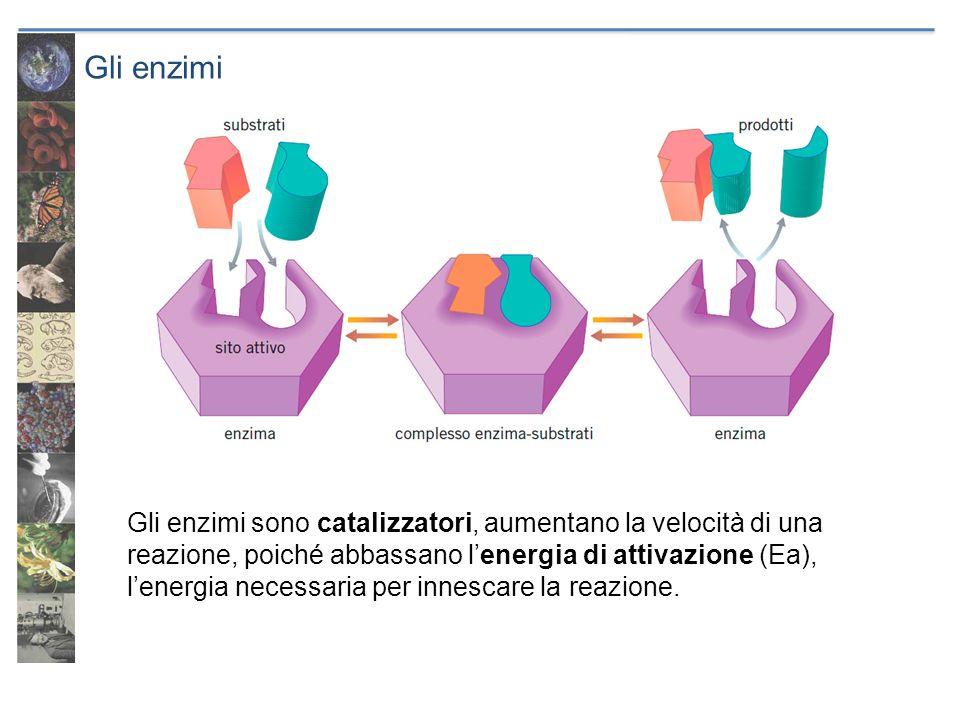 Gli enzimi Gli enzimi sono catalizzatori, aumentano la velocità di una reazione, poiché abbassano lenergia di attivazione (Ea), lenergia necessaria pe