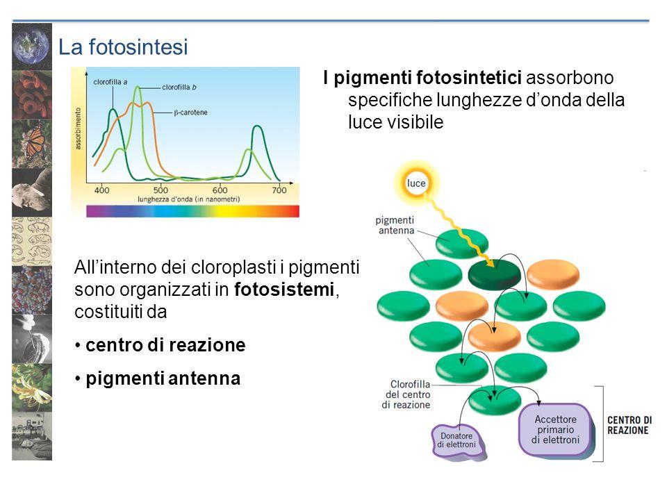 La fotosintesi I pigmenti fotosintetici assorbono specifiche lunghezze donda della luce visibile Allinterno dei cloroplasti i pigmenti sono organizzat