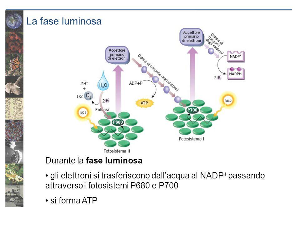 La fase luminosa Durante la fase luminosa gli elettroni si trasferiscono dallacqua al NADP + passando attraverso i fotosistemi P680 e P700 si forma AT