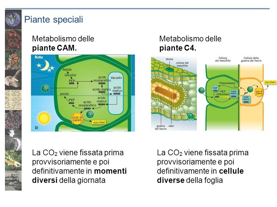 Piante speciali La CO 2 viene fissata prima provvisoriamente e poi definitivamente in momenti diversi della giornata La CO 2 viene fissata prima provv