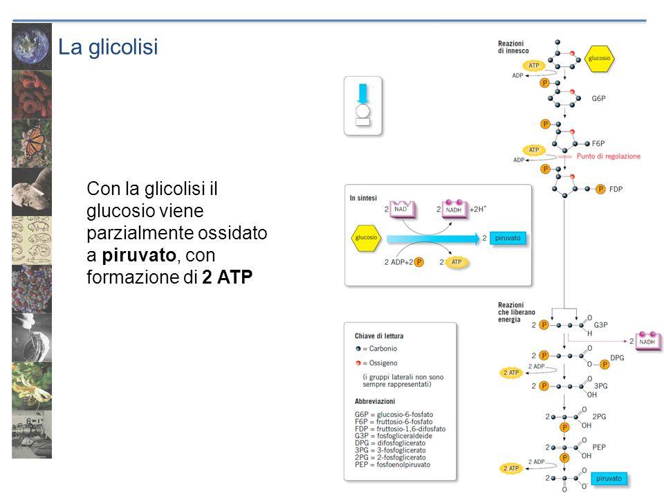 La glicolisi Con la glicolisi il glucosio viene parzialmente ossidato a piruvato, con formazione di 2 ATP