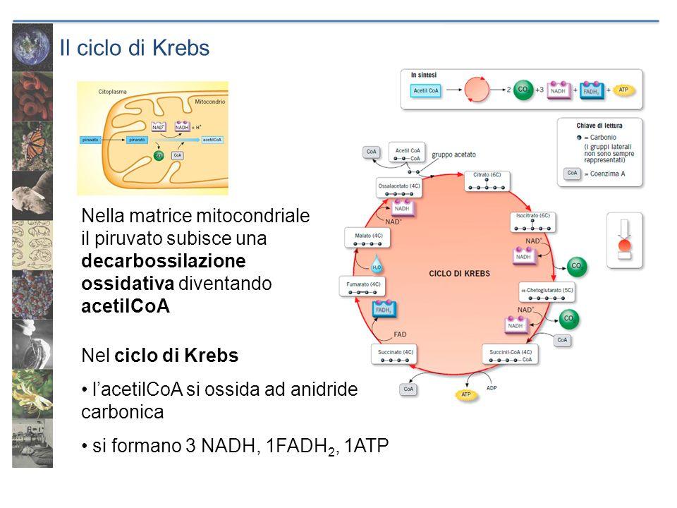 Il ciclo di Krebs Nella matrice mitocondriale il piruvato subisce una decarbossilazione ossidativa diventando acetilCoA Nel ciclo di Krebs lacetilCoA