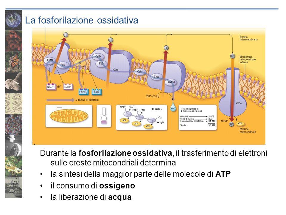 La fosforilazione ossidativa Durante la fosforilazione ossidativa, il trasferimento di elettroni sulle creste mitocondriali determina la sintesi della