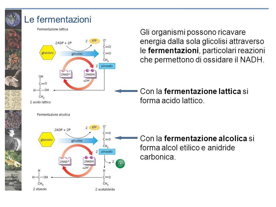 Le fermentazioni Gli organismi possono ricavare energia dalla sola glicolisi attraverso le fermentazioni, particolari reazioni che permettono di ossid
