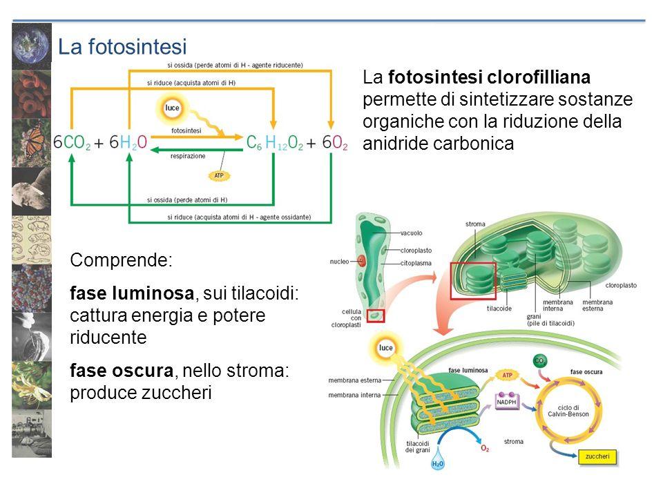 La fotosintesi La fotosintesi clorofilliana permette di sintetizzare sostanze organiche con la riduzione della anidride carbonica Comprende: fase lumi