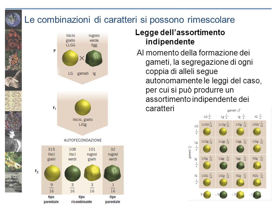 Le combinazioni di caratteri si possono rimescolare Legge dellassortimento indipendente Al momento della formazione dei gameti, la segregazione di ogn