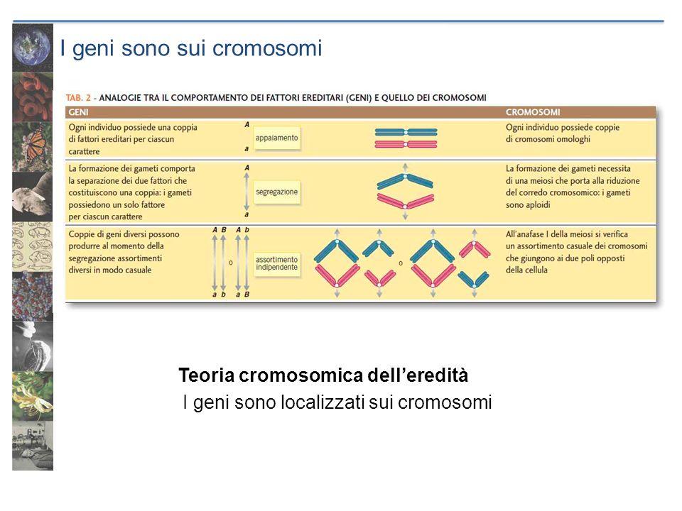I geni sono sui cromosomi Teoria cromosomica delleredità I geni sono localizzati sui cromosomi