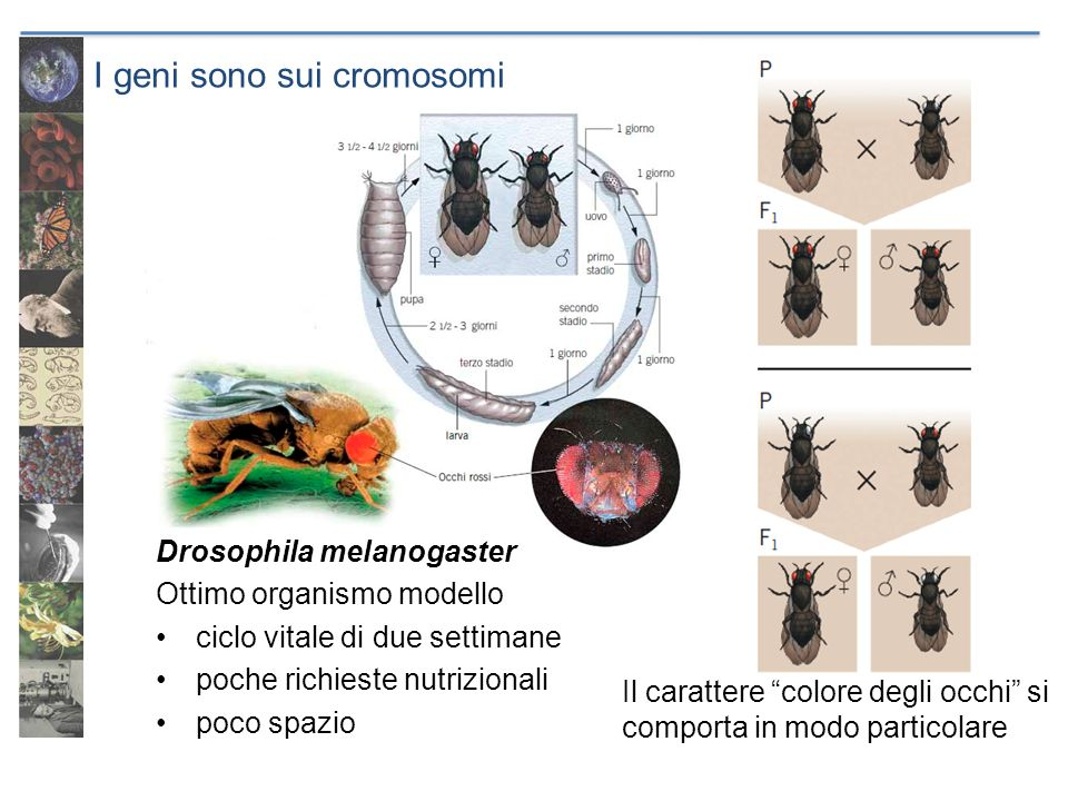 I geni sono sui cromosomi Drosophila melanogaster Ottimo organismo modello ciclo vitale di due settimane poche richieste nutrizionali poco spazio Il c