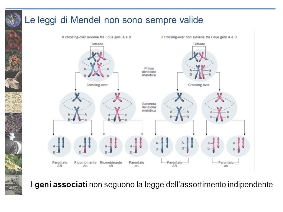 Le leggi di Mendel non sono sempre valide I geni associati non seguono la legge dellassortimento indipendente