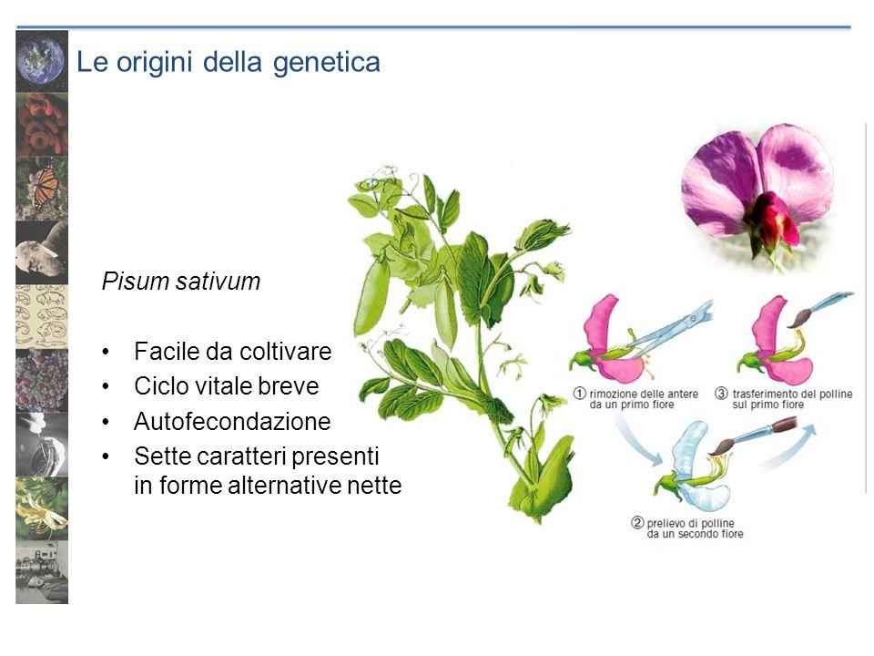 Le origini della genetica Pisum sativum Facile da coltivare Ciclo vitale breve Autofecondazione Sette caratteri presenti in forme alternative nette