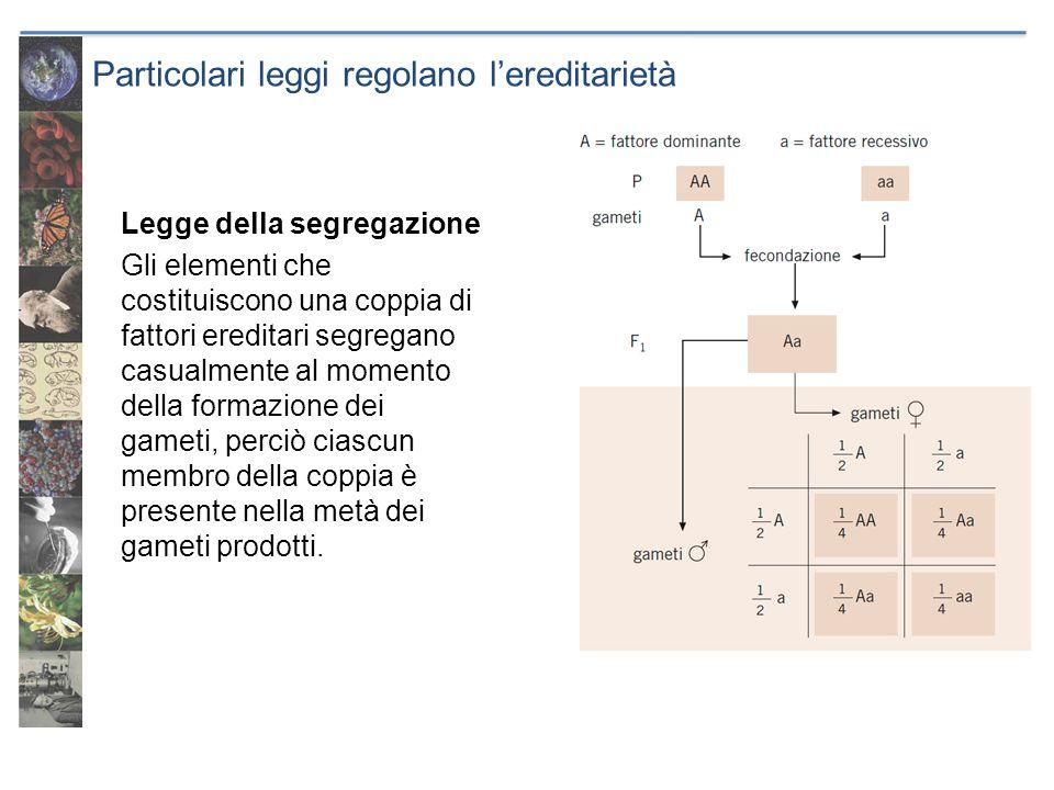 Legge della segregazione Gli elementi che costituiscono una coppia di fattori ereditari segregano casualmente al momento della formazione dei gameti,
