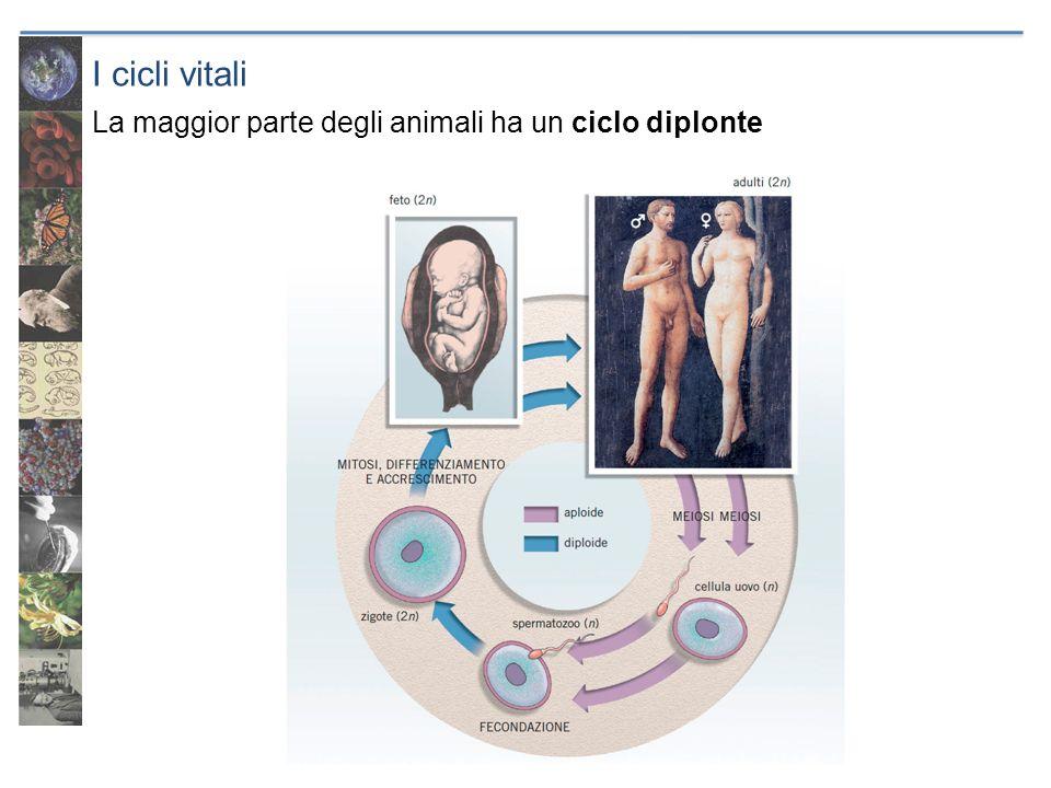 La riproduzione degli animali Gameti femminili: cellule uovo Sono le cellule da cui si formerà lembrione.