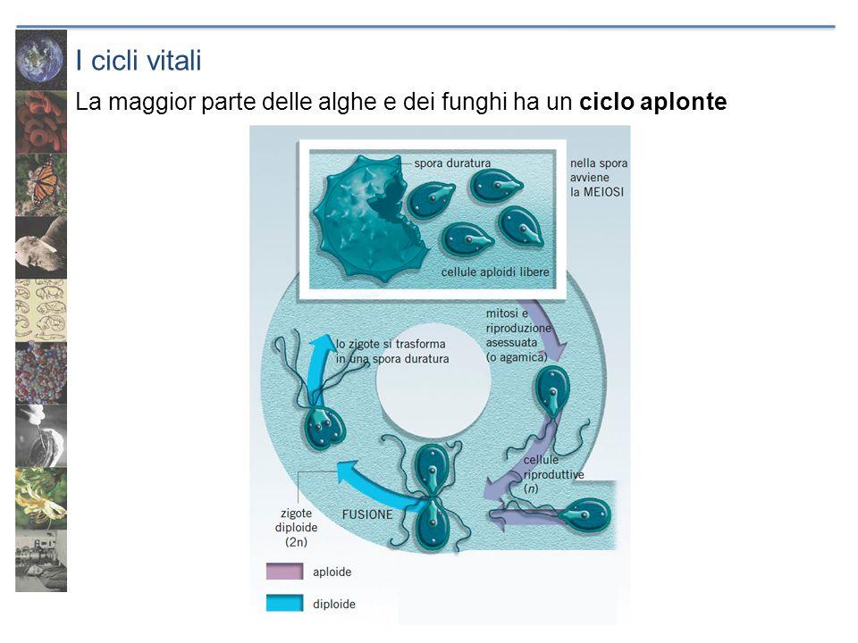 I cicli vitali Le piante hanno un ciclo aplodiplonte, si alternano due generazioni: il gametofito aploide, produce gameti per mitosi lo sporofito diploide, produce spore per meiosi