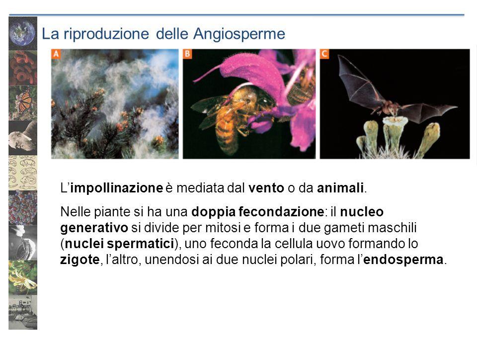 La riproduzione delle Angiosperme deriva dalla trasformazione dellovulo contiene lembrione circondato da sostanze di riserva può sopravvivere per lunghi periodi germina in condizioni ambientali favorevoli Il seme