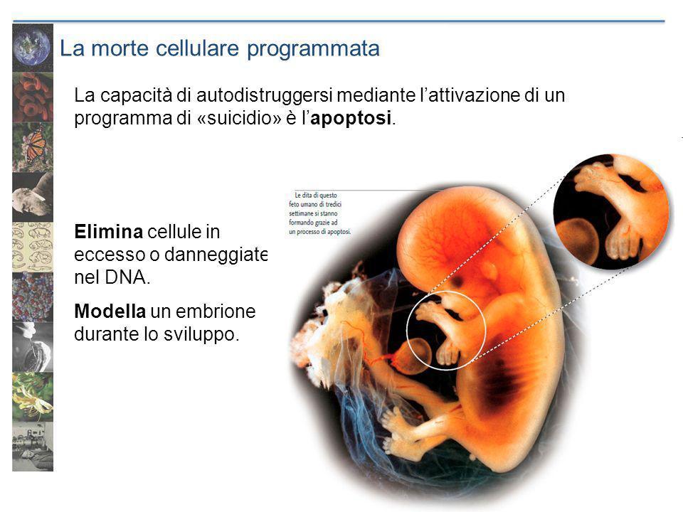 La morte cellulare programmata Elimina cellule in eccesso o danneggiate nel DNA. Modella un embrione durante lo sviluppo. La capacità di autodistrugge