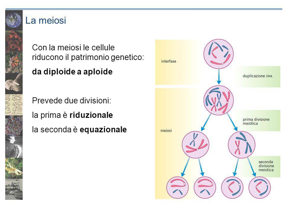 La meiosi Con la meiosi le cellule riducono il patrimonio genetico: da diploide a aploide Prevede due divisioni: la prima è riduzionale la seconda è equazionale