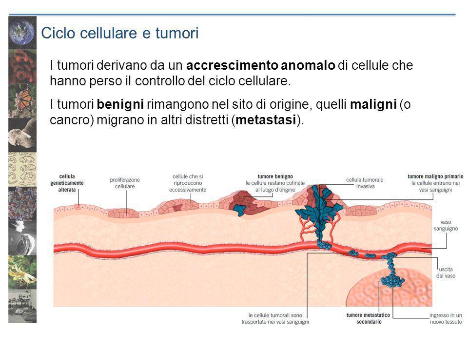 Ciclo cellulare e tumori I tumori derivano da un accrescimento anomalo di cellule che hanno perso il controllo del ciclo cellulare. I tumori benigni r