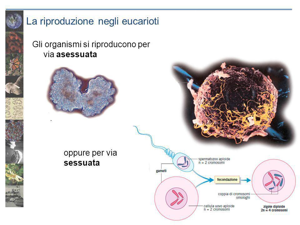 La riproduzione negli eucarioti Gli organismi si riproducono per via asessuata oppure per via sessuata