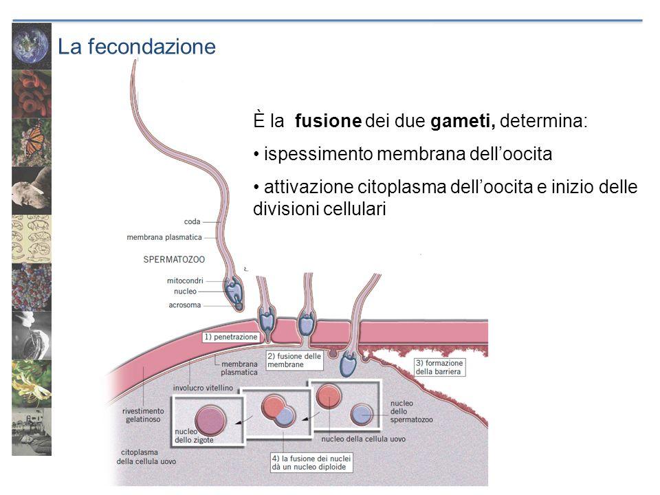 La fecondazione È la fusione dei due gameti, determina: ispessimento membrana delloocita attivazione citoplasma delloocita e inizio delle divisioni ce
