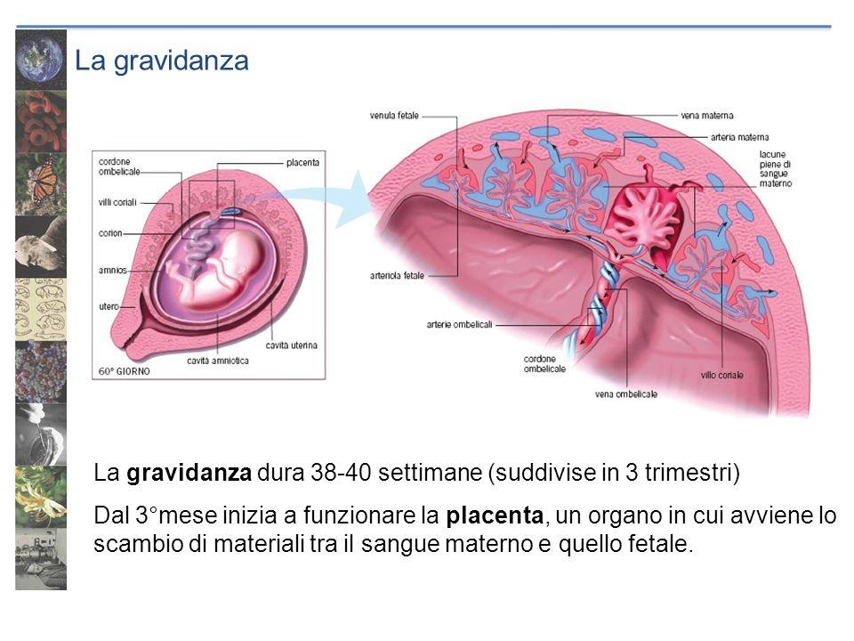 La gravidanza La gravidanza dura 38-40 settimane (suddivise in 3 trimestri) Dal 3°mese inizia a funzionare la placenta, un organo in cui avviene lo sc