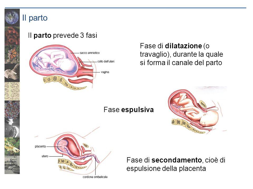 Il parto Il parto prevede 3 fasi Fase espulsiva Fase di secondamento, cioè di espulsione della placenta Fase di dilatazione (o travaglio), durante la