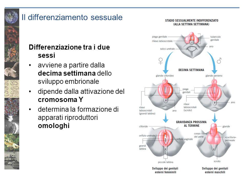 Il differenziamento sessuale Differenziazione tra i due sessi avviene a partire dalla decima settimana dello sviluppo embrionale dipende dalla attivaz