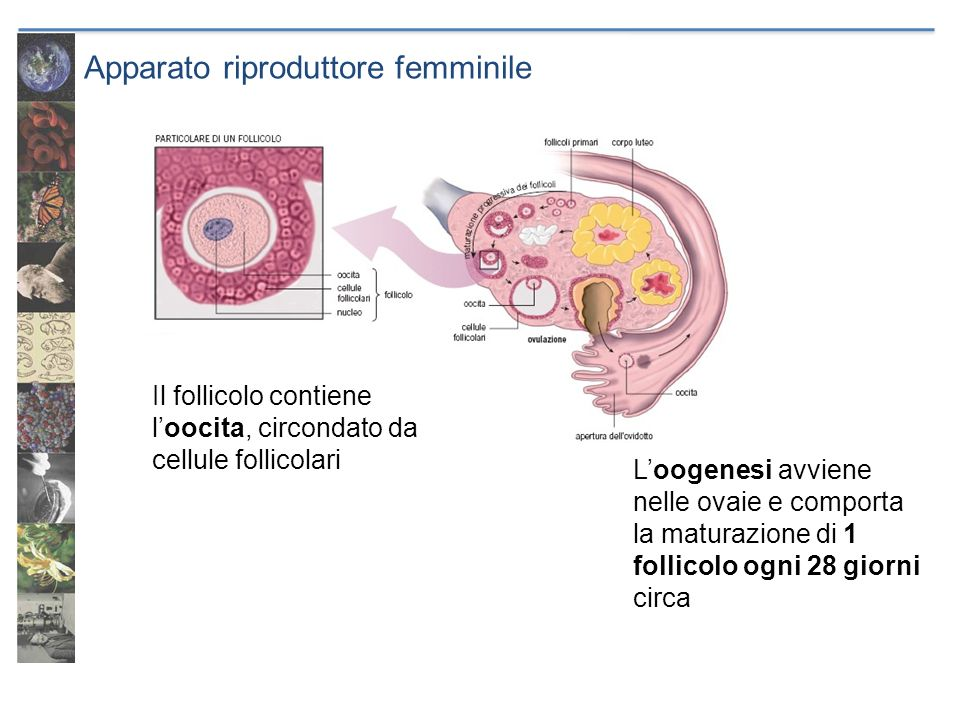 Loogenesi avviene nelle ovaie e comporta la maturazione di 1 follicolo ogni 28 giorni circa Il follicolo contiene loocita, circondato da cellule folli