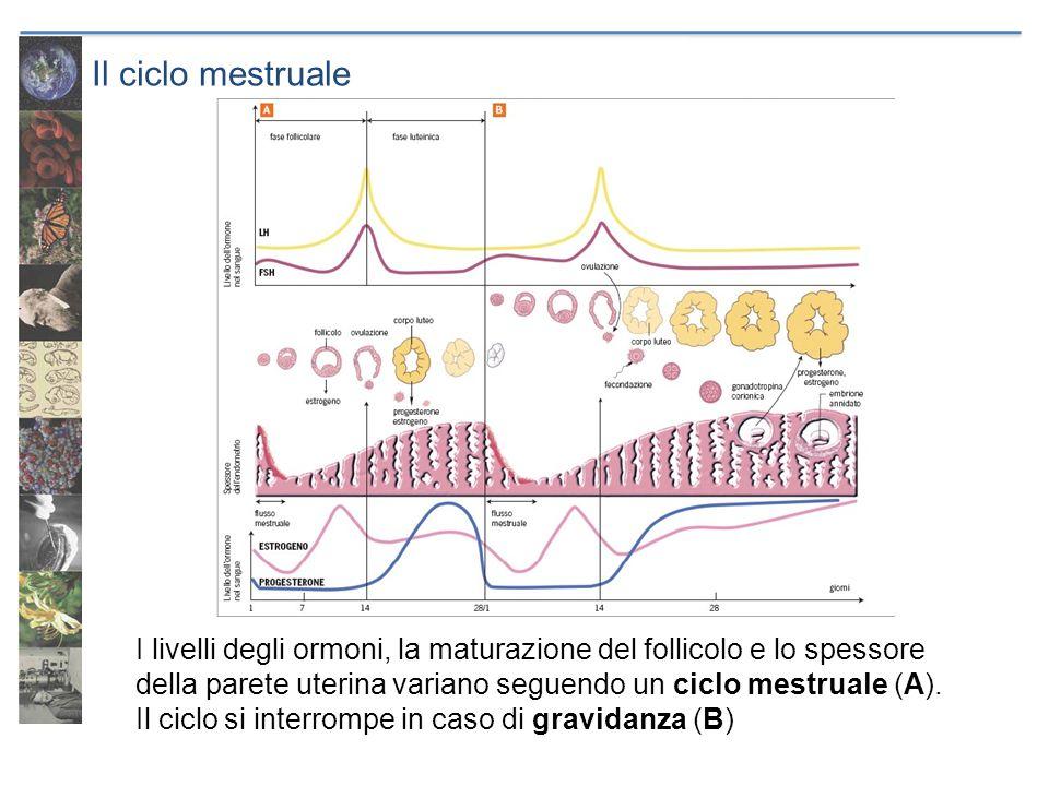 Il ciclo mestruale I livelli degli ormoni, la maturazione del follicolo e lo spessore della parete uterina variano seguendo un ciclo mestruale (A). Il