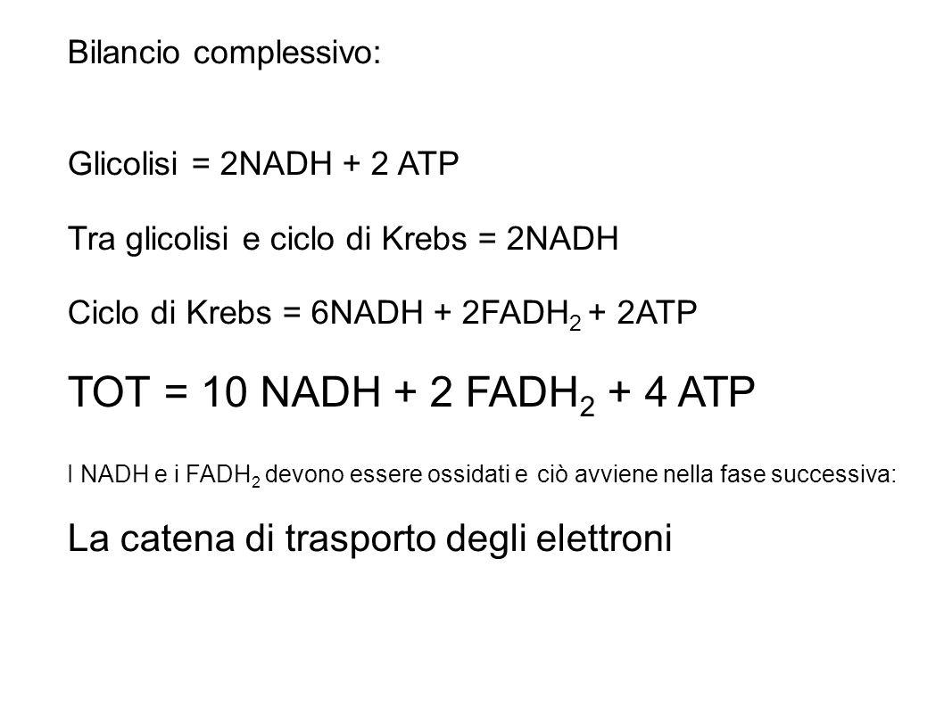 BILANCIO COMPLESSIVO Bilancio complessivo: Glicolisi = 2NADH + 2 ATP Tra glicolisi e ciclo di Krebs = 2NADH Ciclo di Krebs = 6NADH + 2FADH 2 + 2ATP TO