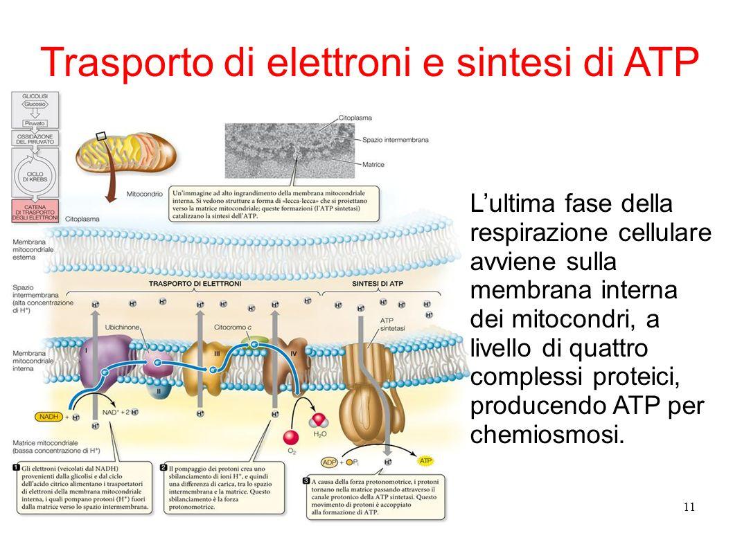 11 Trasporto di elettroni e sintesi di ATP Lultima fase della respirazione cellulare avviene sulla membrana interna dei mitocondri, a livello di quatt