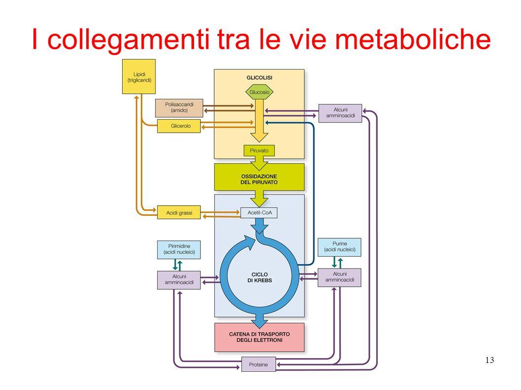 13 I collegamenti tra le vie metaboliche