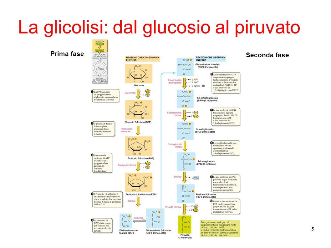 5 La glicolisi: dal glucosio al piruvato Prima fase Seconda fase
