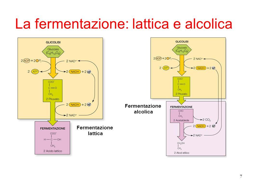 7 La fermentazione: lattica e alcolica Fermentazione lattica Fermentazione alcolica
