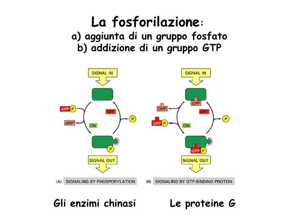 La fosforilazione : a) aggiunta di un gruppo fosfato b) addizione di un gruppo GTP Le proteine GGli enzimi chinasi