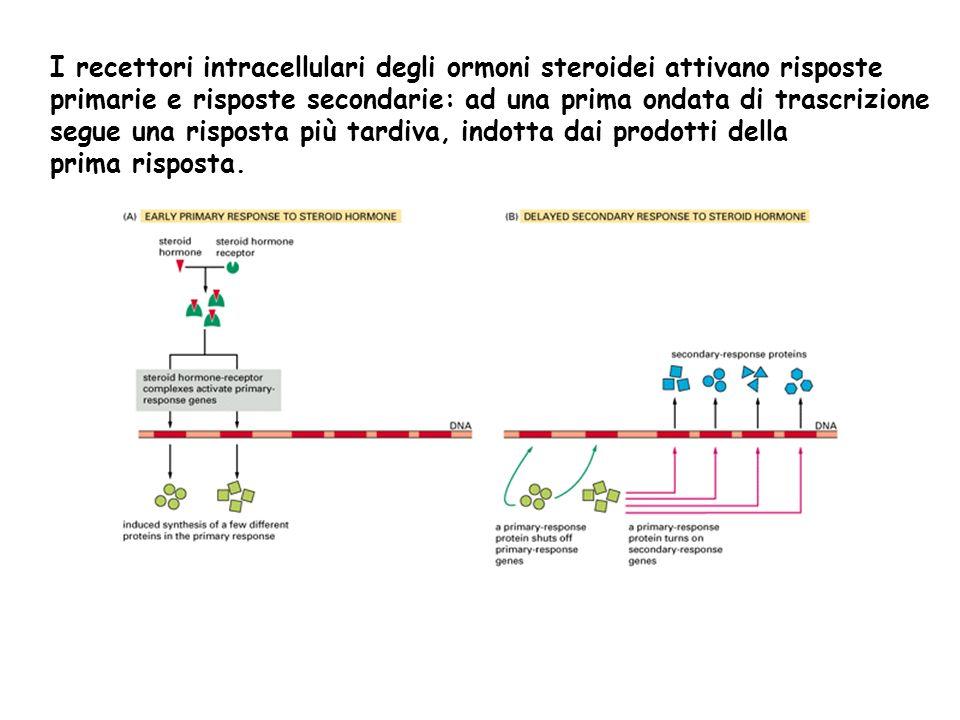 I recettori intracellulari degli ormoni steroidei attivano risposte primarie e risposte secondarie: ad una prima ondata di trascrizione segue una risp
