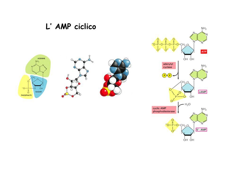 L AMP ciclico