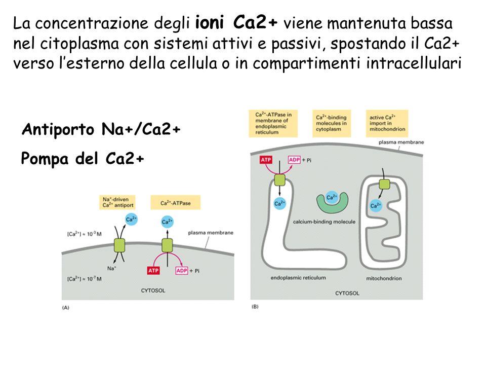 La concentrazione degli ioni Ca2+ viene mantenuta bassa nel citoplasma con sistemi attivi e passivi, spostando il Ca2+ verso lesterno della cellula o