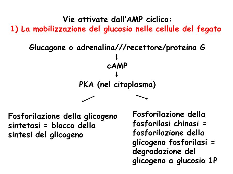 Vie attivate dallAMP ciclico: 1) La mobilizzazione del glucosio nelle cellule del fegato Glucagone o adrenalina///recettore/proteina G cAMP PKA (nel c