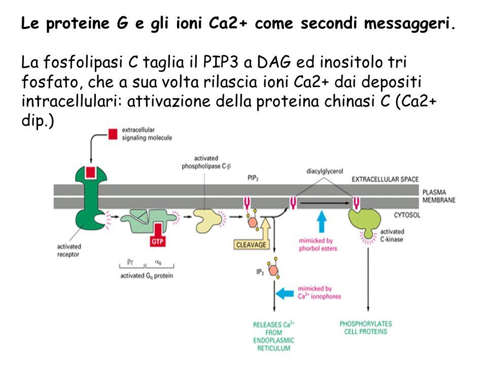 Le proteine G e gli ioni Ca2+ come secondi messaggeri. La fosfolipasi C taglia il PIP3 a DAG ed inositolo tri fosfato, che a sua volta rilascia ioni C