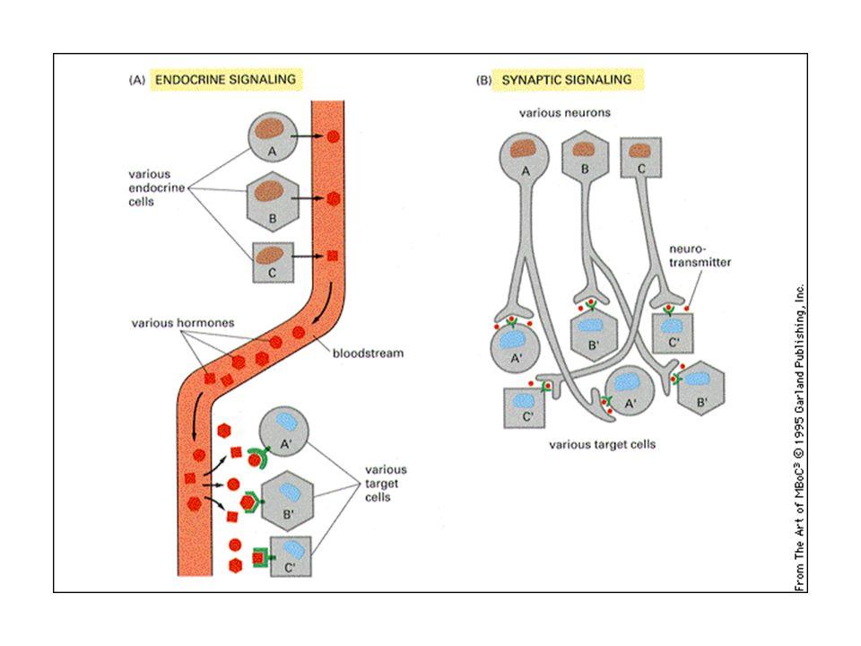 Gli ormoni diffondono a lunga distanza attraverso il sangue, dove si diluiscono.