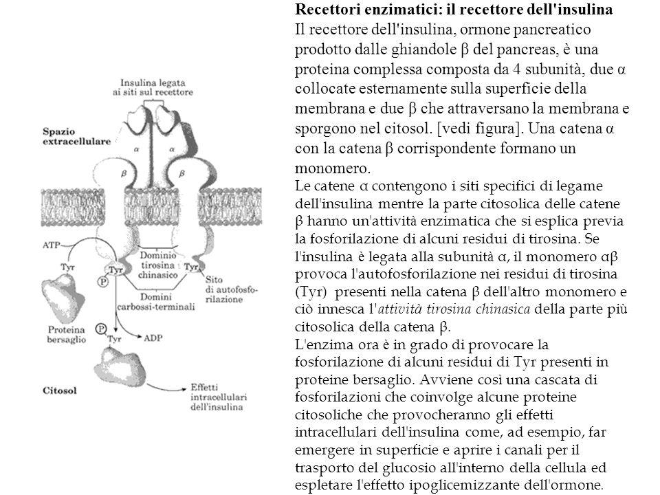 Recettori enzimatici: il recettore dell'insulina Il recettore dell'insulina, ormone pancreatico prodotto dalle ghiandole β del pancreas, è una protein