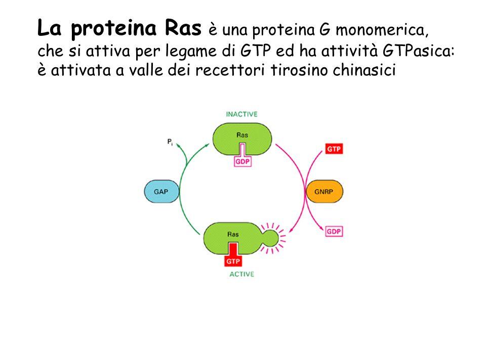 La proteina Ras è una proteina G monomerica, che si attiva per legame di GTP ed ha attività GTPasica: è attivata a valle dei recettori tirosino chinas