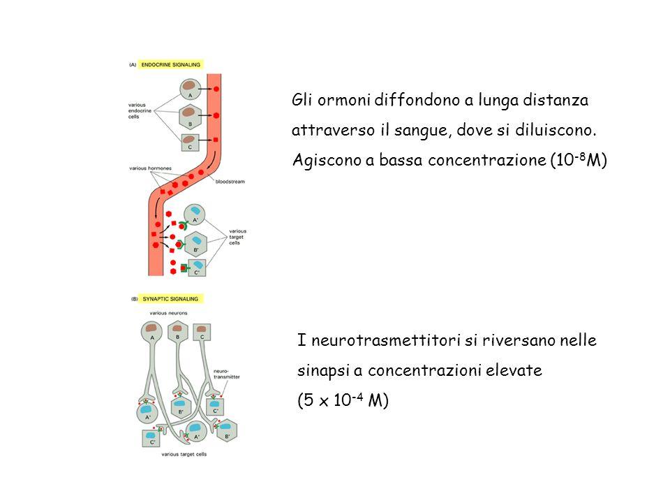 Gli ormoni diffondono a lunga distanza attraverso il sangue, dove si diluiscono. Agiscono a bassa concentrazione (10 -8 M) I neurotrasmettitori si riv