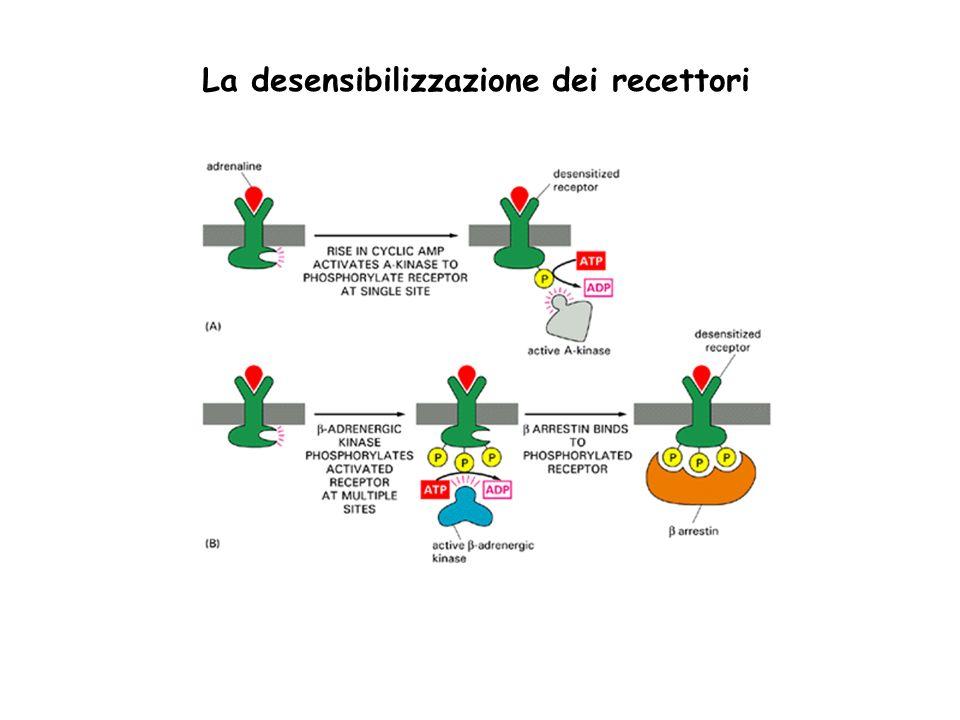 La desensibilizzazione dei recettori