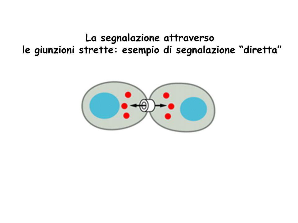 Le molecole segnale possono essere: Idrosolubili: tutti i neurotrasmettitori, la maggior parte degli ormoni e dei mediatori chimici locali.